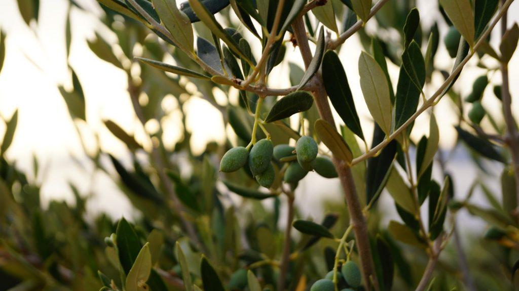 tureckie oliwki