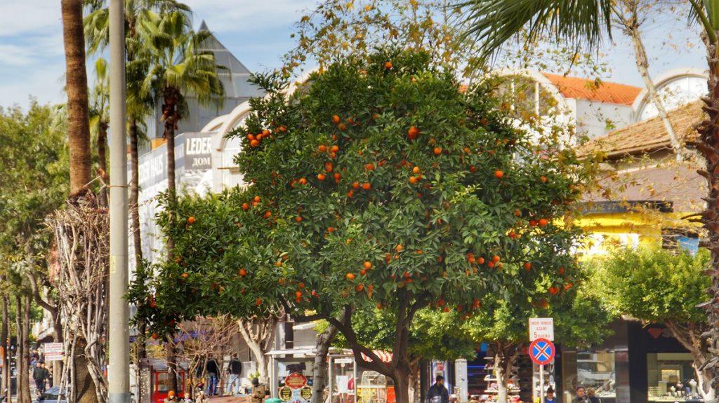 Piękne drzewa pomarańczy