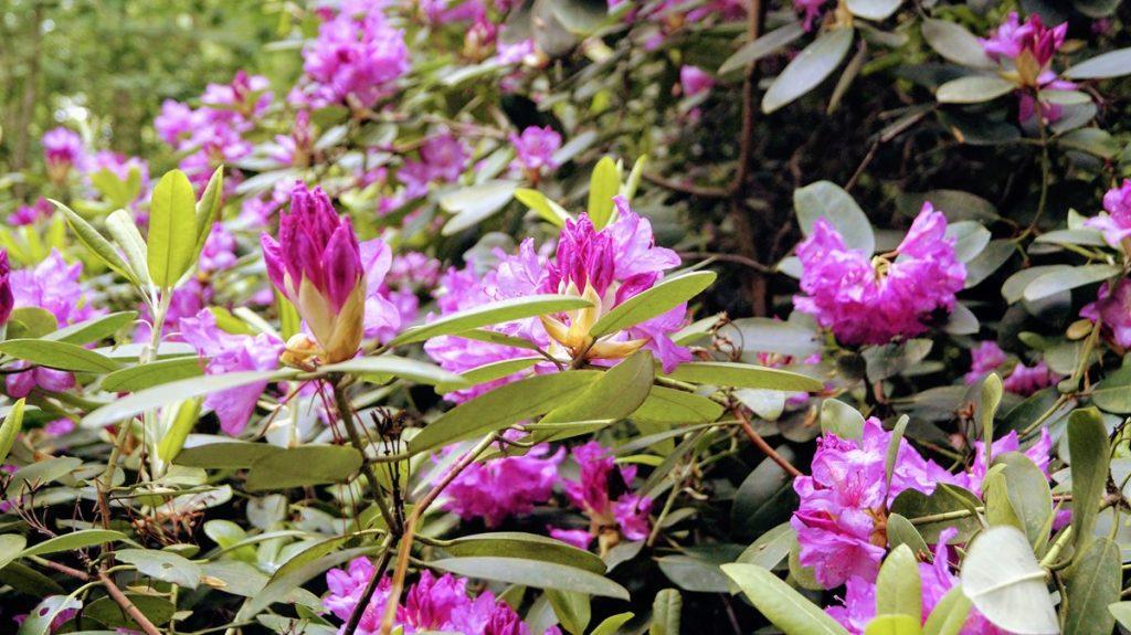 Lipno arboretum różaneczniki