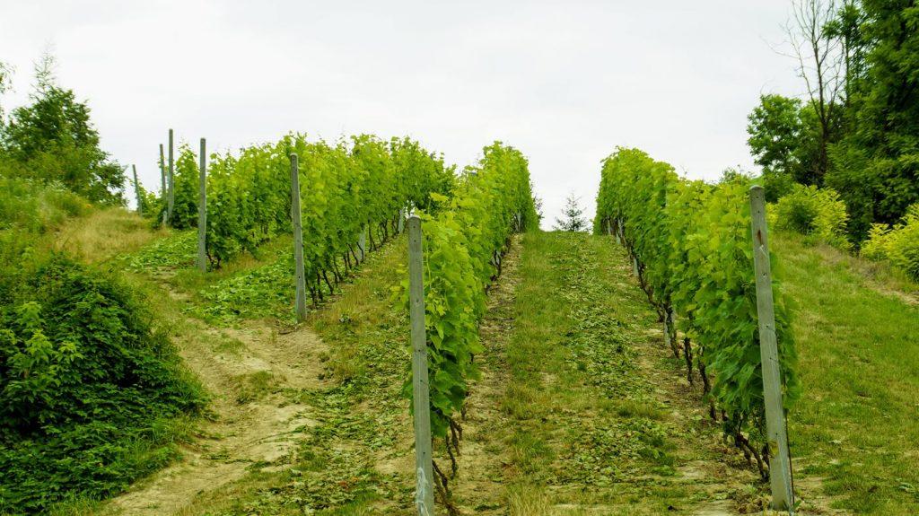 Sandomierz winnica