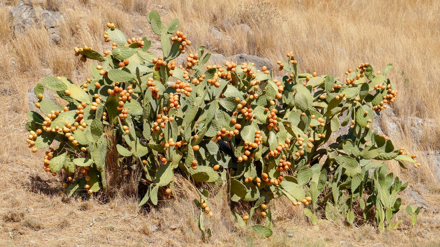 kaktusy na Peloponez