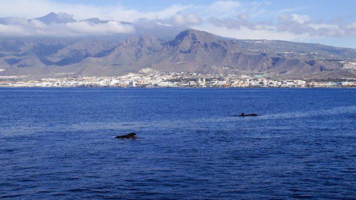 Delfiny na Teneryfie